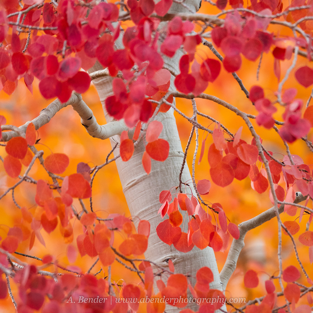 Intimate detail landscape scene of a white aspen trunk framed by red aspen leaves set against soft orange bokeh in the Wasatch Mountains Utah fall 2021 foliage | A Bender Photography LLC