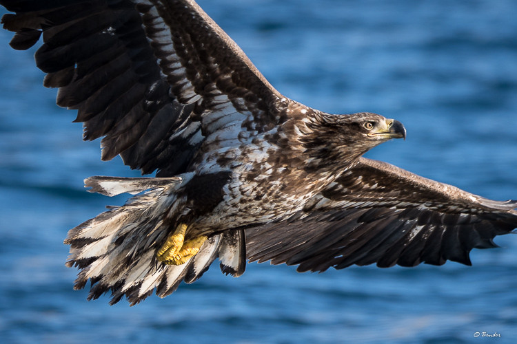 Close up of juvie Steller's Sea Eagle in flight