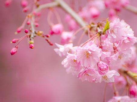 Japan in Spring: Sakura