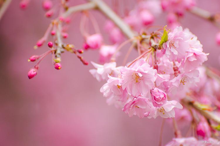 Pink sakura blossom