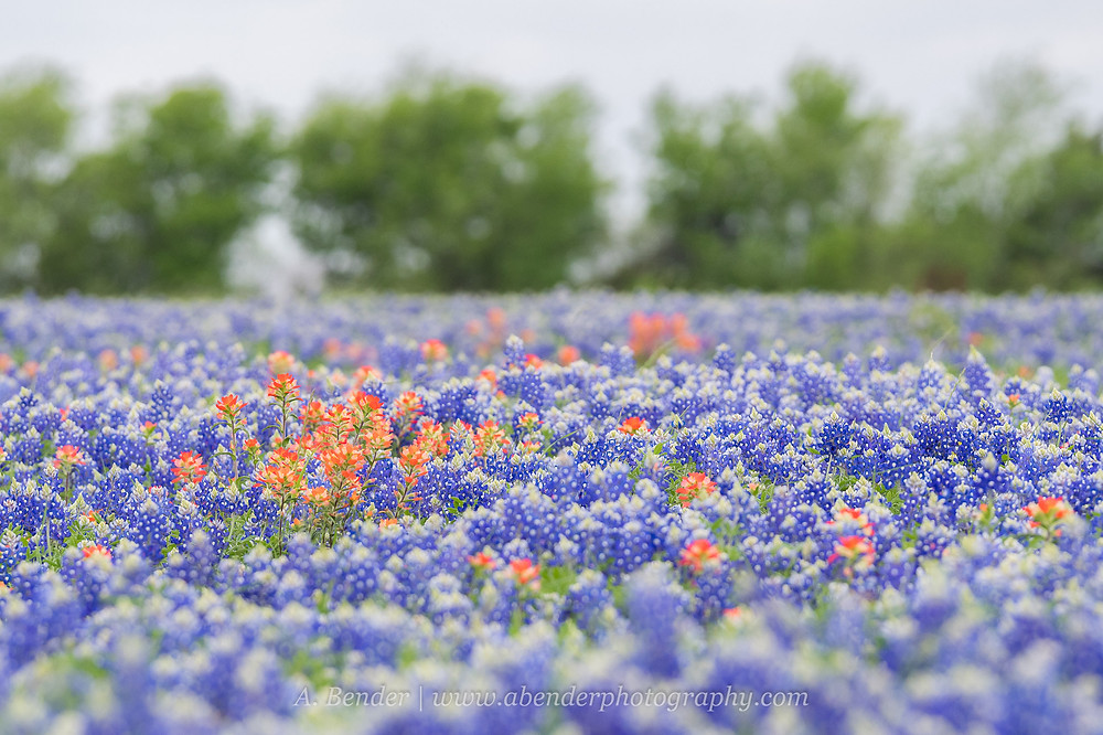 Texas bluebonnet field dotted with Indian Paintbrush in central Texas | A Bender Photography LLC