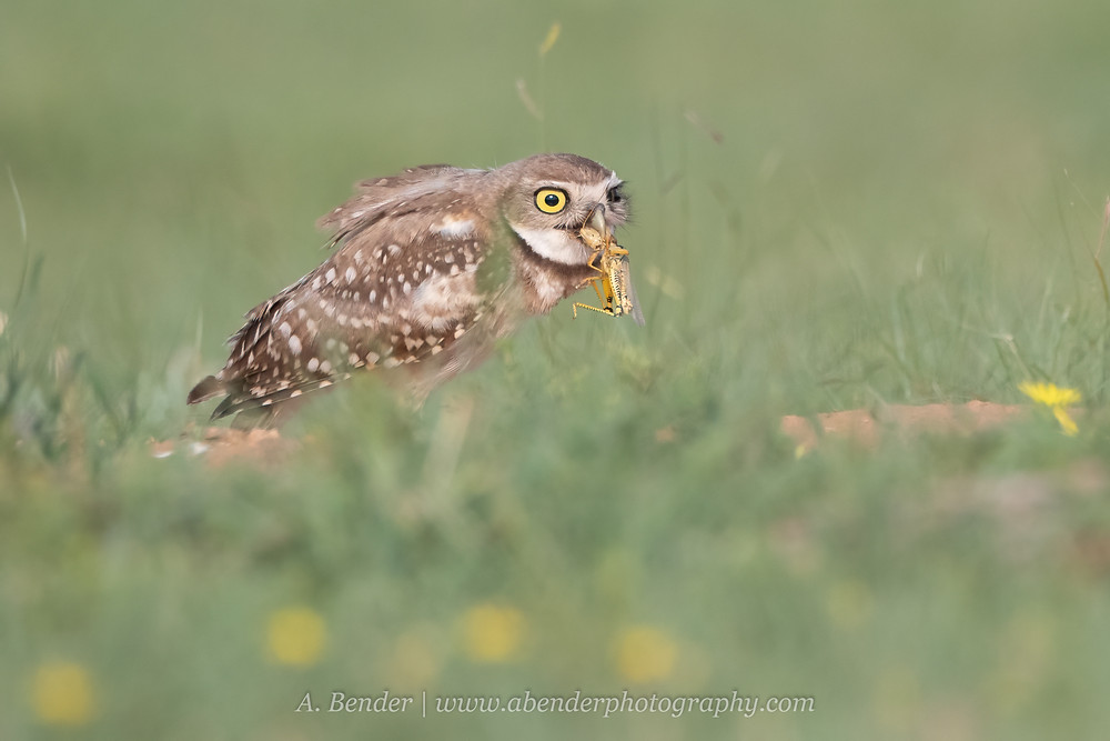 Burrowing owl with grasshopper lubber caught in its beak in northern Texas | A Bender Photography LLC