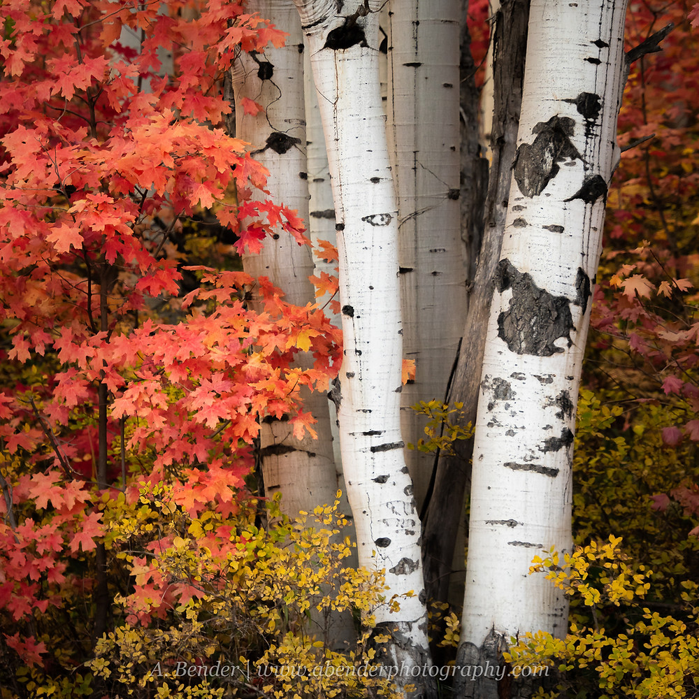 A stand of white aspen trunks overlaid with a red maple foliage and yellow brush at the base in the Wasatch Mountains Utah fall foliage intimate landscape scene | A Bender Photography LLC