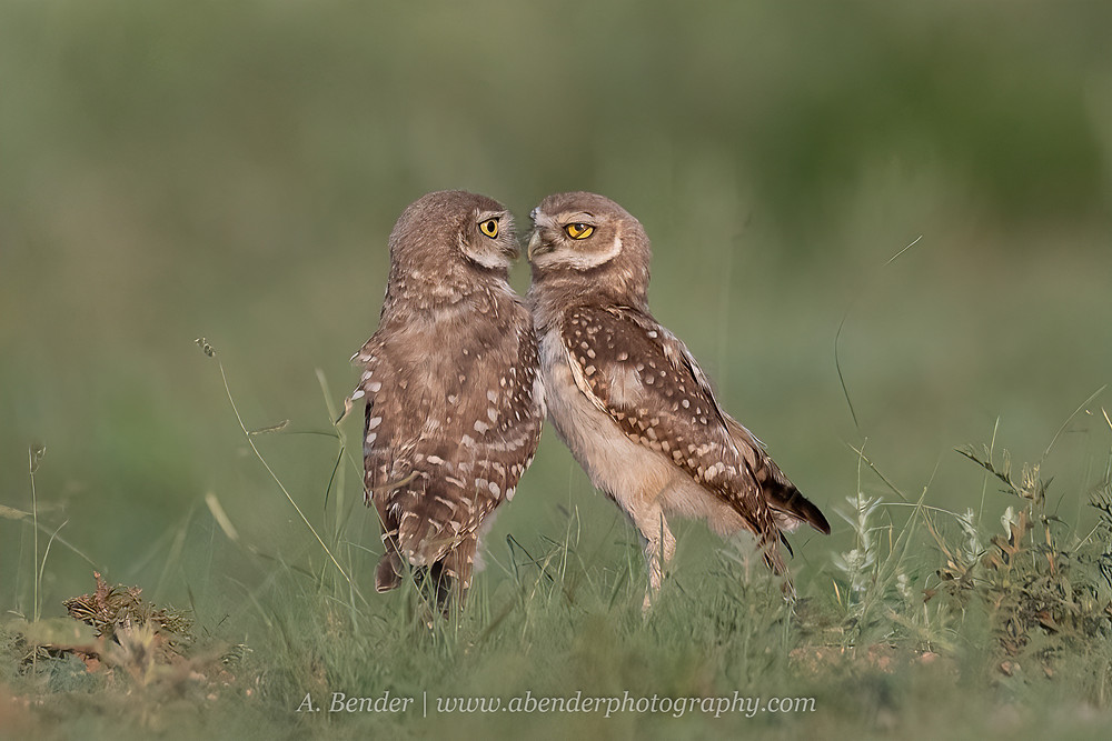 Two burrowing owls face each other in a grassy field at sunset in northern Texas | A Bender Photography LLC