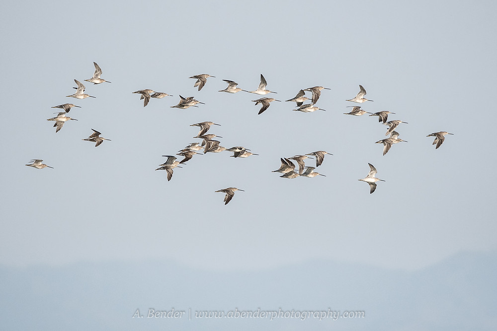 A flock of long-billed dowitchers in flight over Antelope Island Great Salt Lake Utah | A Bender Photography LLC
