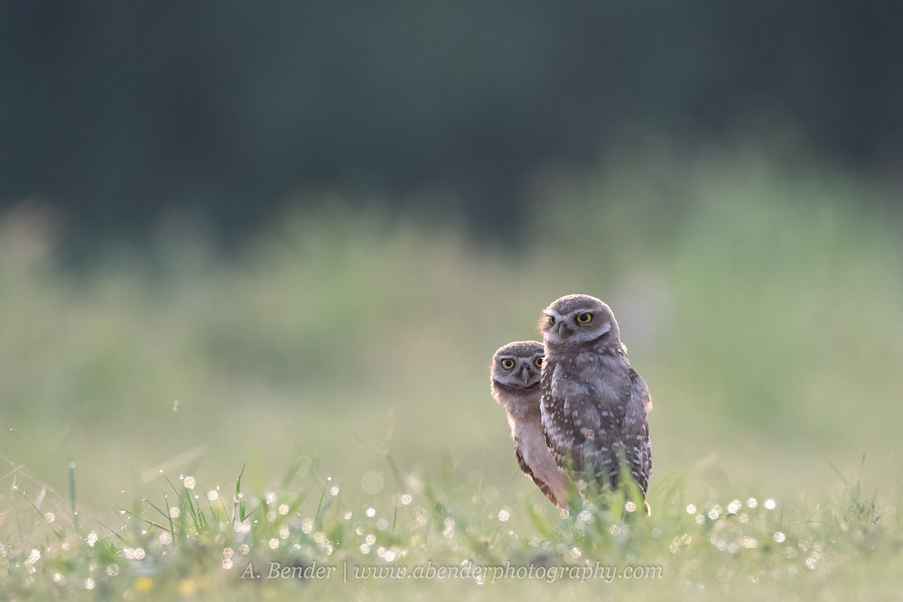 Two burrowing owls survey look over their territory for predators and prey in the early morning light in northern Texas | A Bender Photography LLC