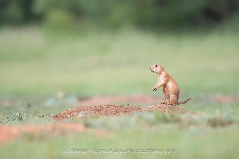 Black tailed prairie dog performs jumping alert call from mound burrow top in northern Texas | A Bender Photography LLC