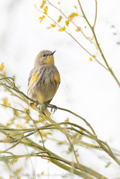 Songbird in blooming bush at Henderson Bird Preserve