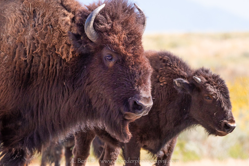 Bison with calf on Antelope Island UT