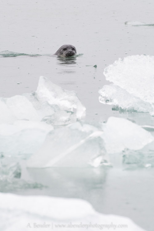 Seal in the rain at Jökulsárlón