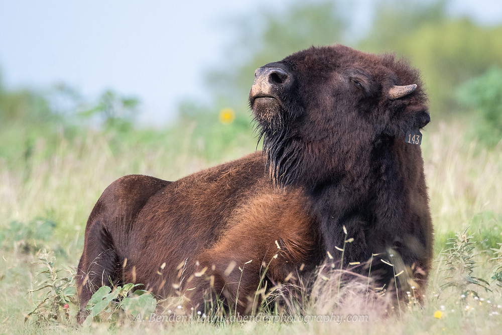 A southern plains bison sniffs the air in Northern Texas | A Bender Photography LLC