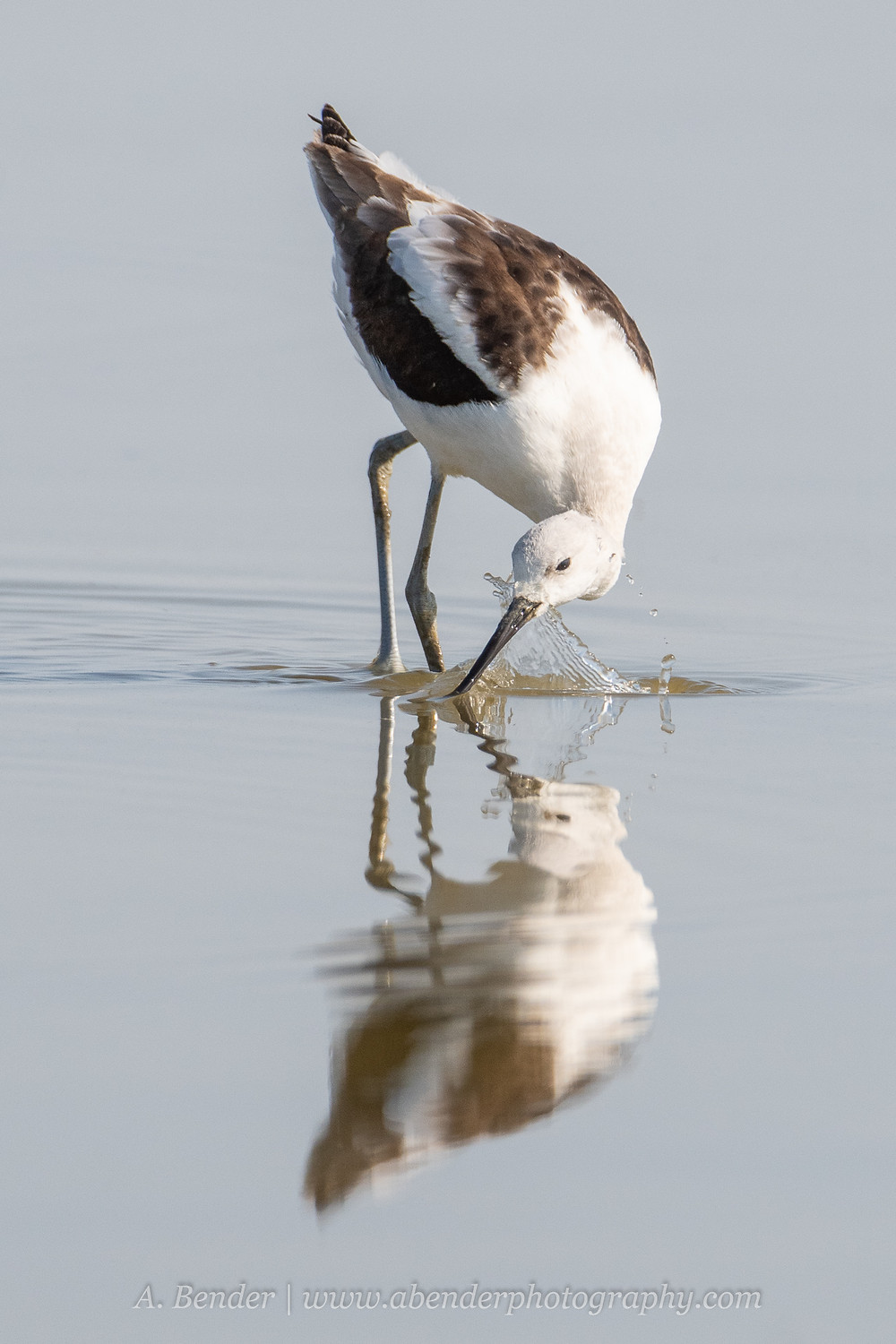 An American avocet skims its bill through the water while feeding on the Great Salt Lake Utah | A Bender Photography LLC