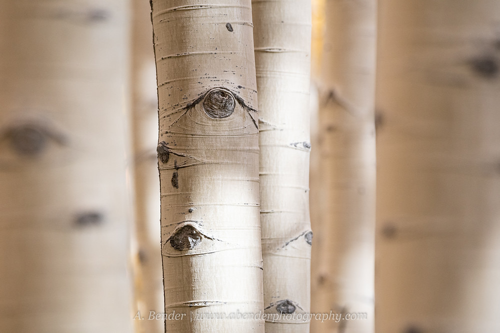 White aspen trunks fill the frame with one in focus and the rest softened Wasatch Mountains Utah | A Bender Photography LLC