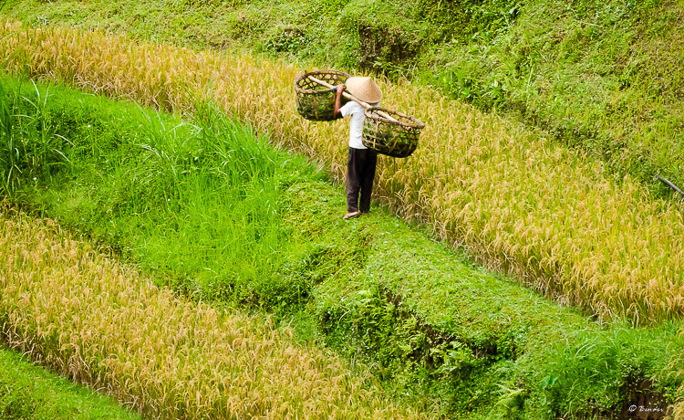 Collecting grass for the livestock.