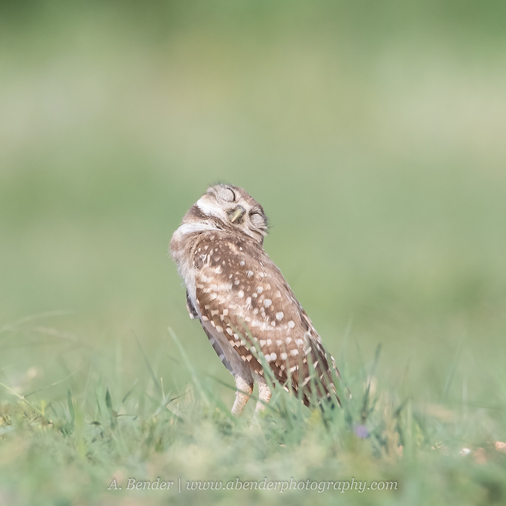 A Burrowing owl snoozing in the afternoon sun with eyes closed and head back in northern Texas |  A Bender Photography LLC