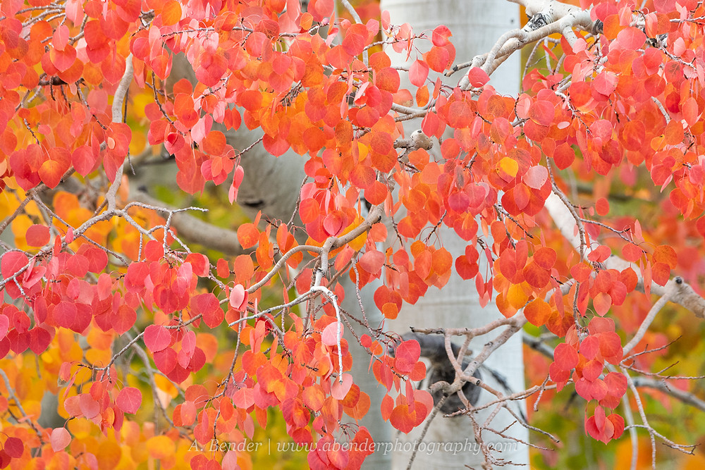 red aspen leaves fall foliage close up in wasatch mountains utah 2021 | A Bender Photography LLC