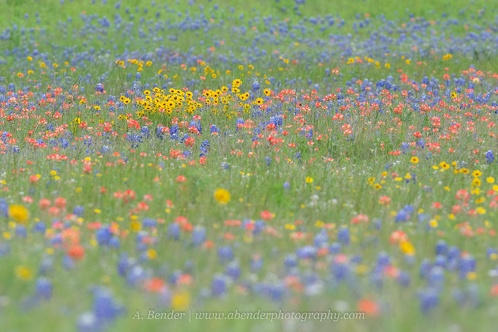 Large field of Texas spring wildflowers blue, yellow, red | A Bender Photography