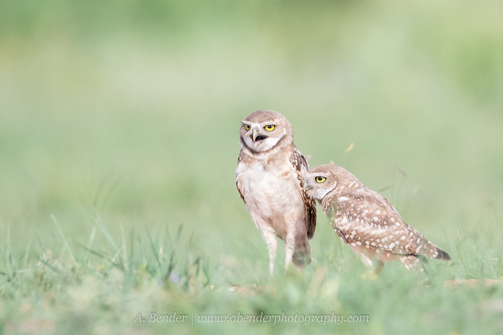 Two burrowing owls standing in a grassy field one talking mid rasp in northern Texas | A Bender Photography LLC