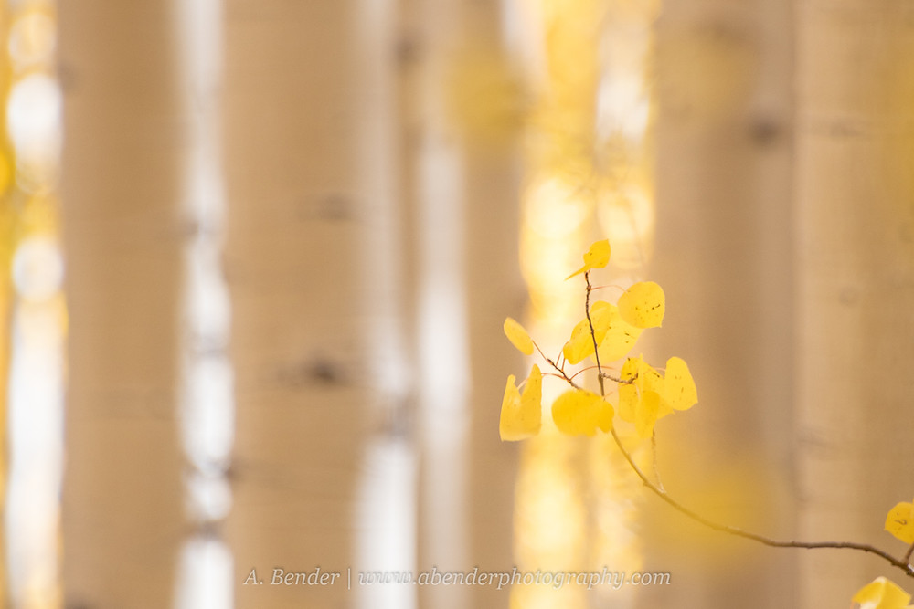 Yellow aspen leaves in focus and glow against a soft background of out of focus aspen trunks in the Wasatch Mountains Utah | A Bender Photography LLC