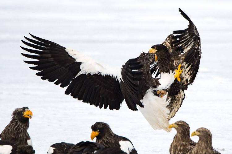 Steller's Sea Eagles in dispute