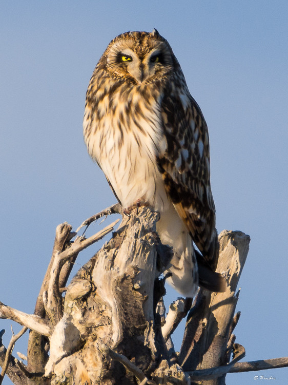 Short-eared owl at sunset