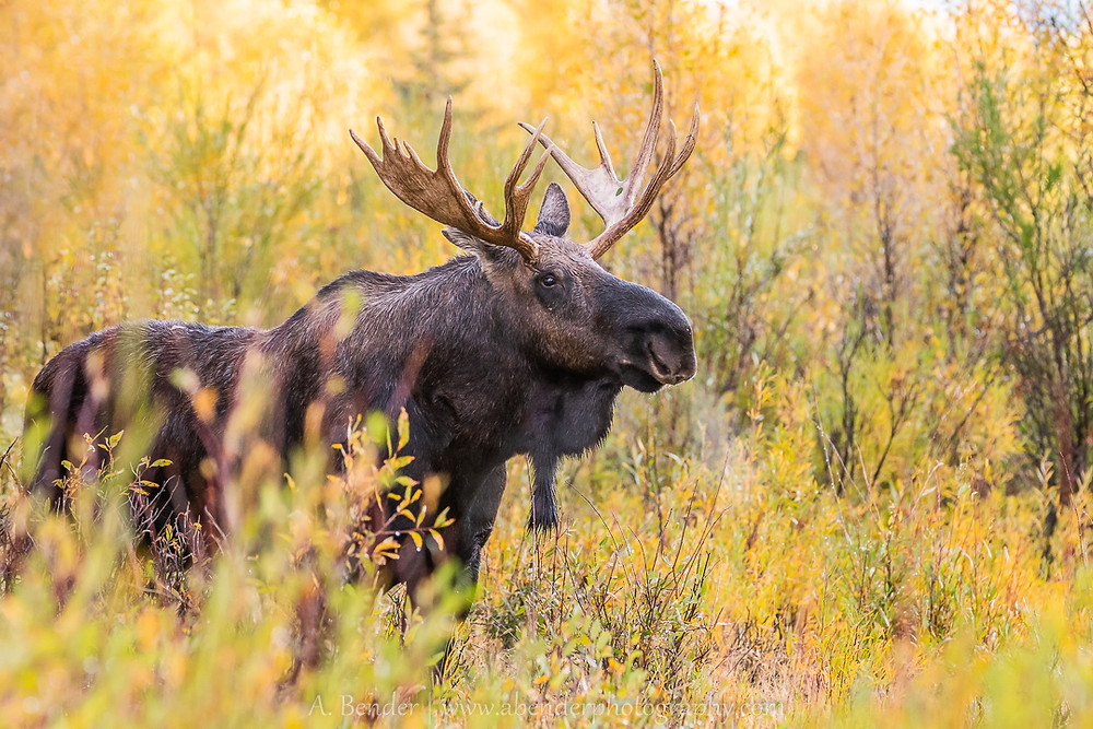 Bull moose surrounded by fall foliage in the morning