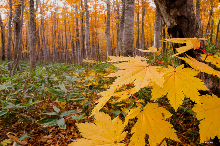 Maple in a Beech Forest during Autumn
