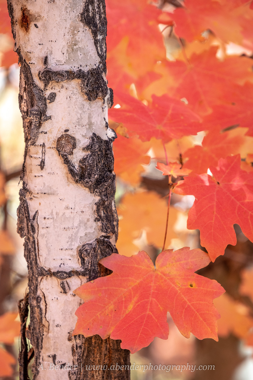 Red maple leaves frame a young but well textured white aspen trunk Wasatch Mountains Utah | A Bender Photography LLC