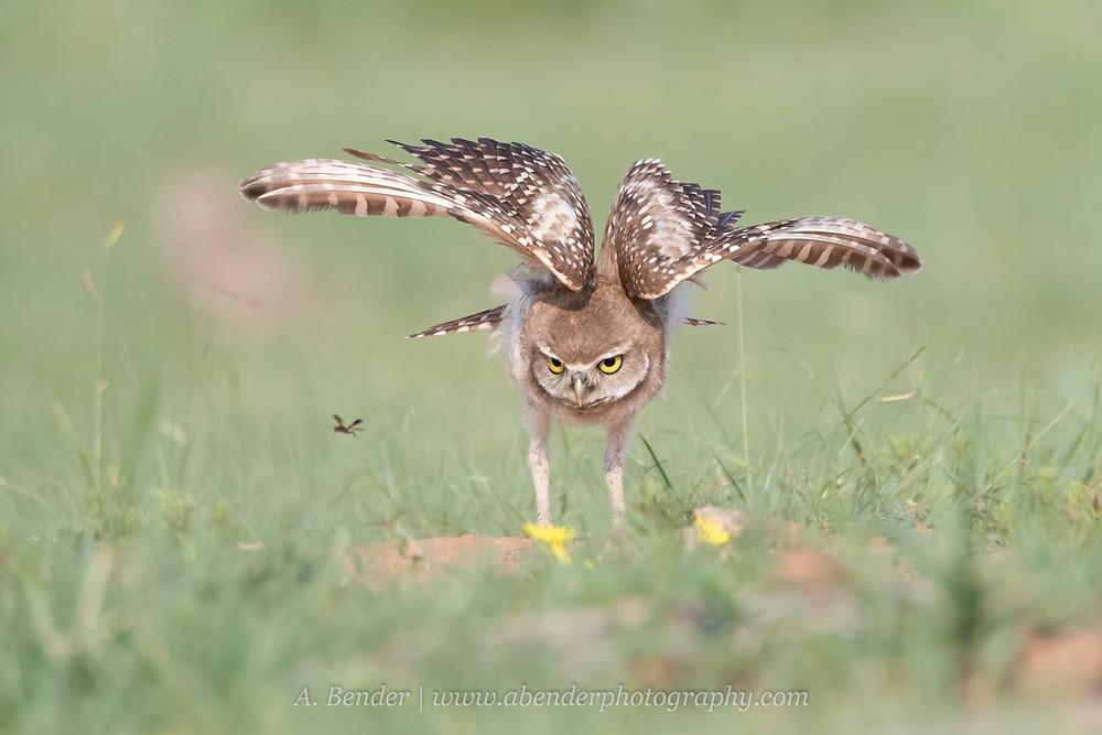 Burrowing owl owlet displays stalking hunting behavior as an insect flies past | A Bender Photography LLC