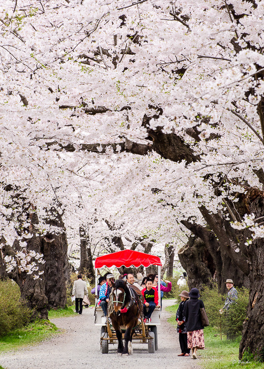 Red canopied wagon being pulled by a horse under a blanket of cherry blossoms.