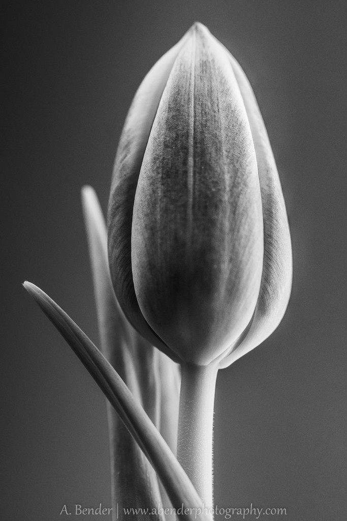 black and white still life of a tulip, a bender photography