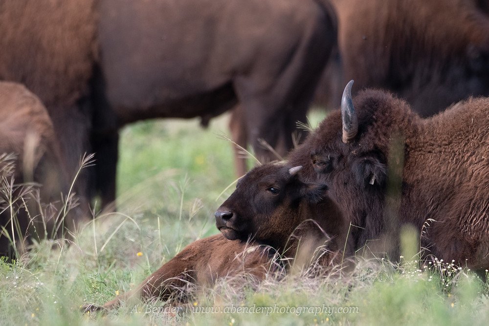A young southern plains bison calf lays down with its mother surrounded by the herd in northern Texas | A Bender Photography LLC