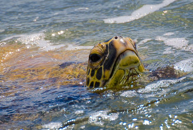 Green sea turtle grabs a breath of air at the surface.