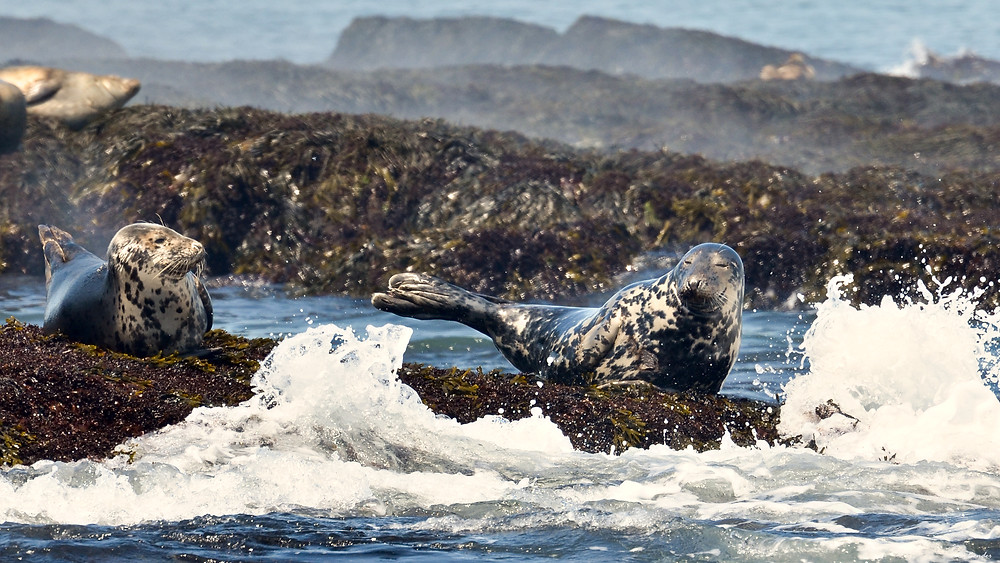 Seals with steam rising off them as they sunbath in the surf. Taken of the coast of Maine in 2014.