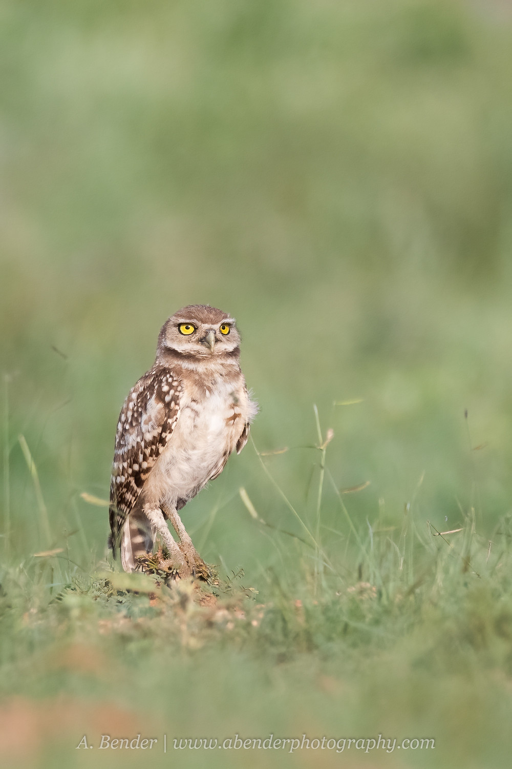 Burrowing Owl stands on a piece of wood in a grassy field in northern Texas | A Bender Photography LLC