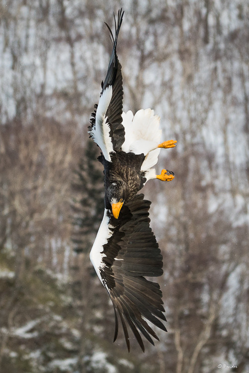 Steller's Sea Eagle mid-air acrobatics
