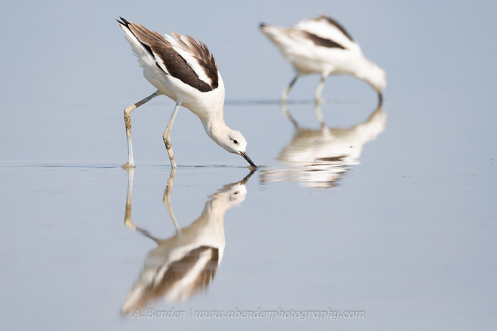 Two American avocets wade feeding in the shallow waters of the Great Salt Lake Utah with reflections | A Bender Photography LLC