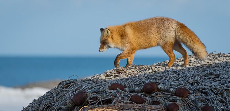 Fox on fishing net mound