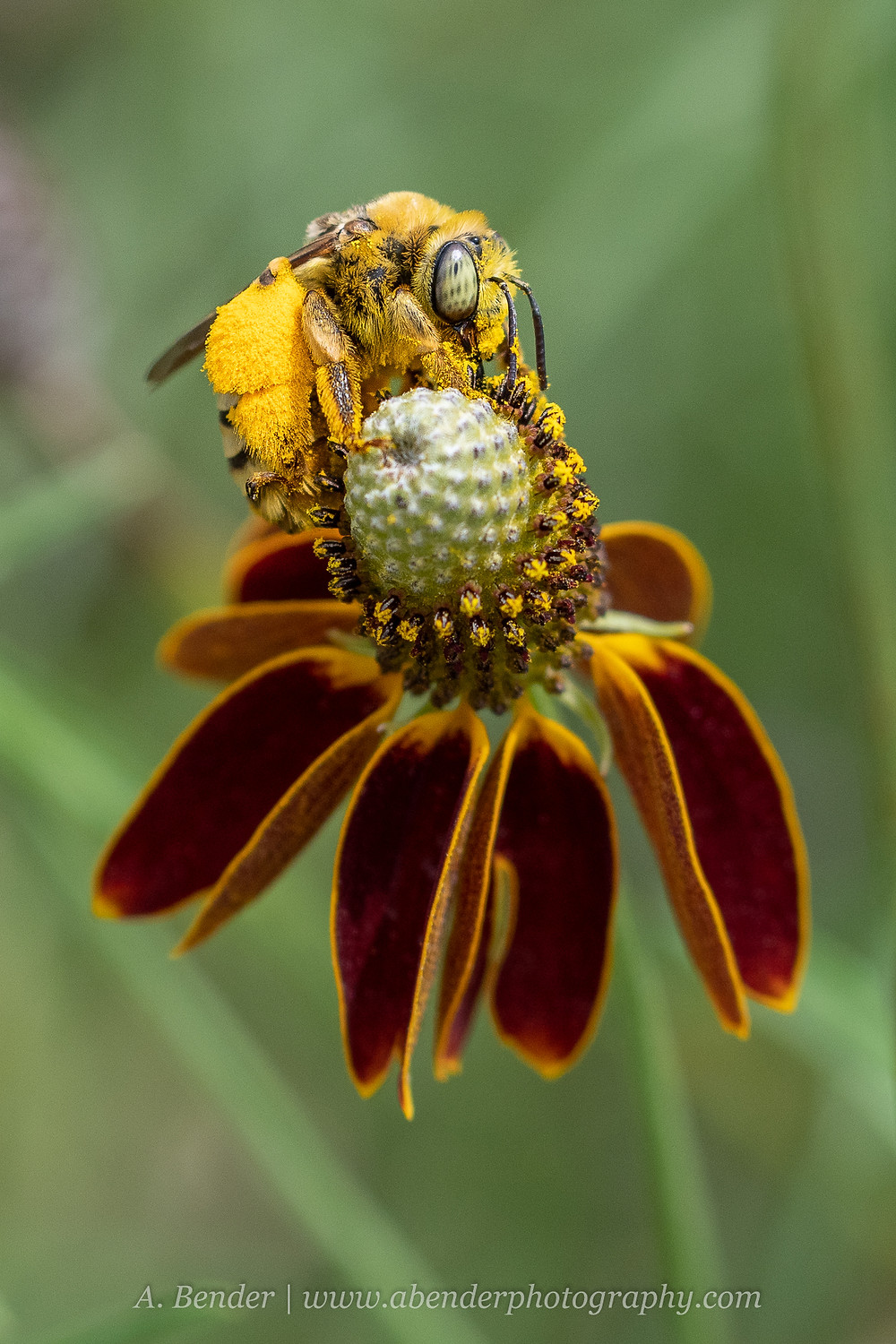 A native bee on a wild cone flower in Texas Hill Country   A Bender Photography LLC