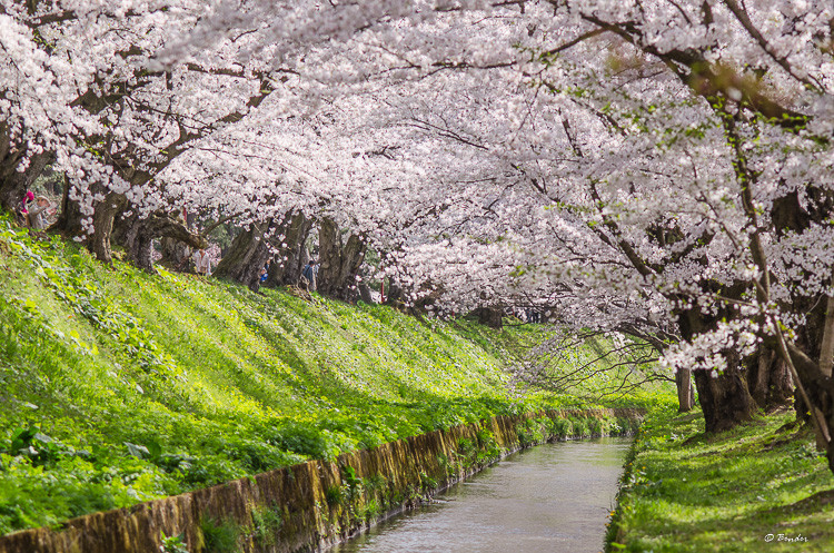 Cherry blossom tunnel over mote