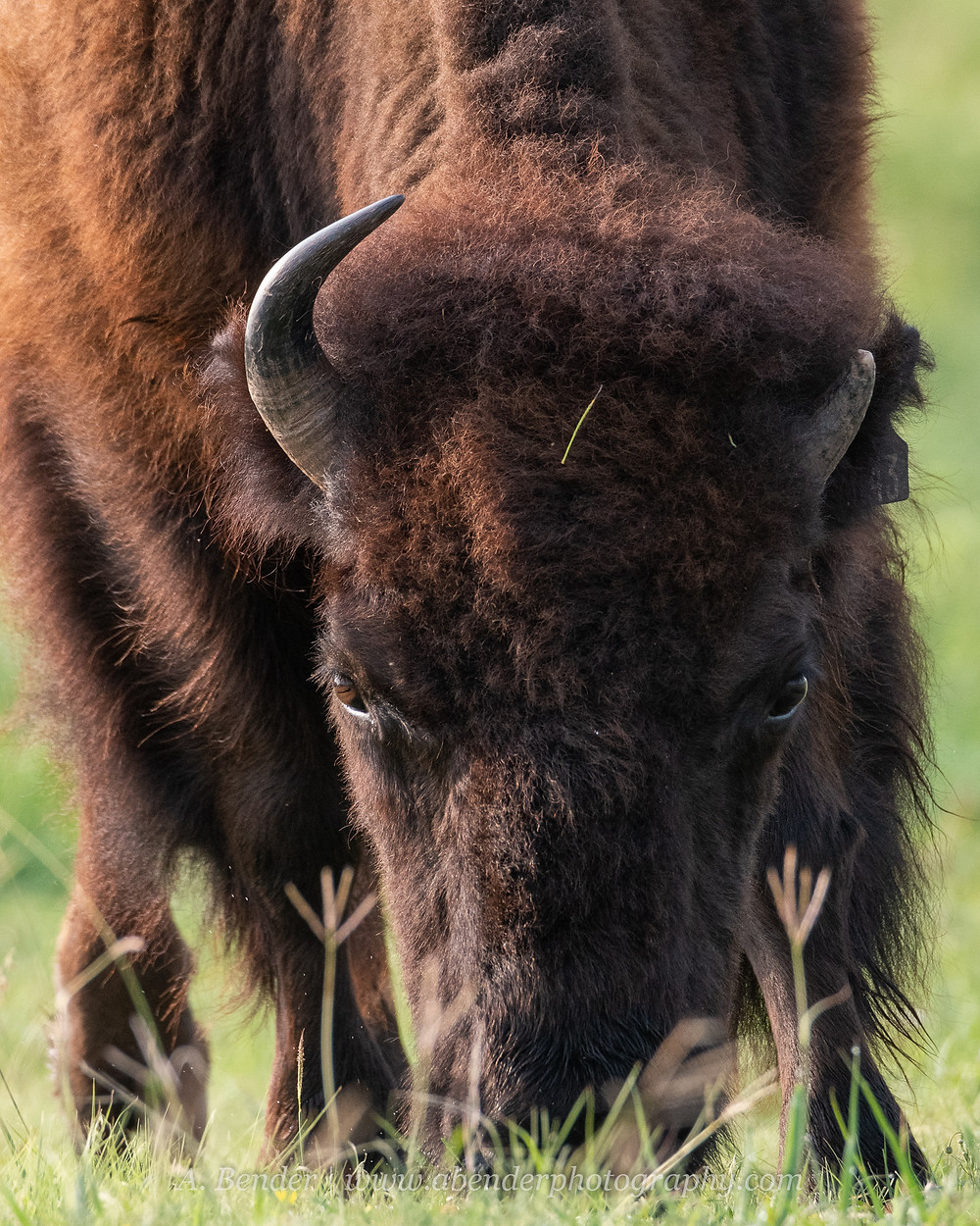 A southern plains bison grazes in morning light in northern Texas | A Bender Photography LLC