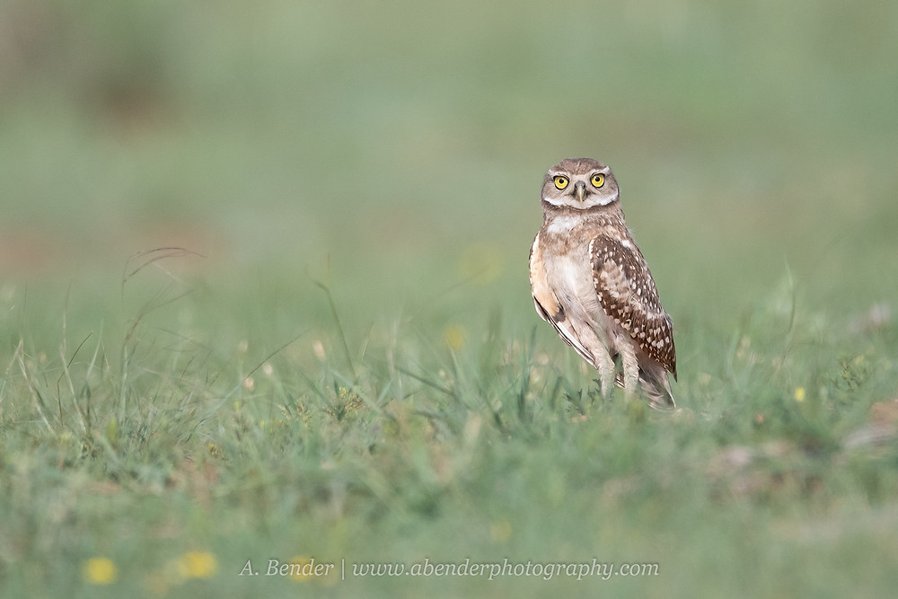 Burrowing Owl standing in grassy field in northern Texas | A Bender Photography LLC