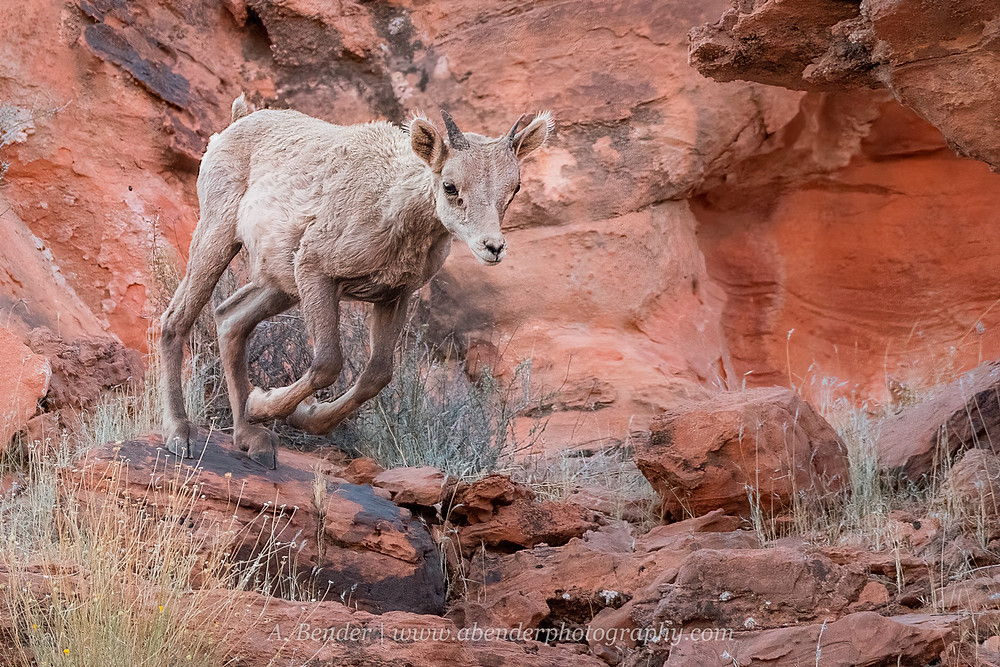A desert bighorn sheep lamb leaps off a bounder in Valley of Fire State Park Nevada outside Las Vegas   A Bender Photography LLC