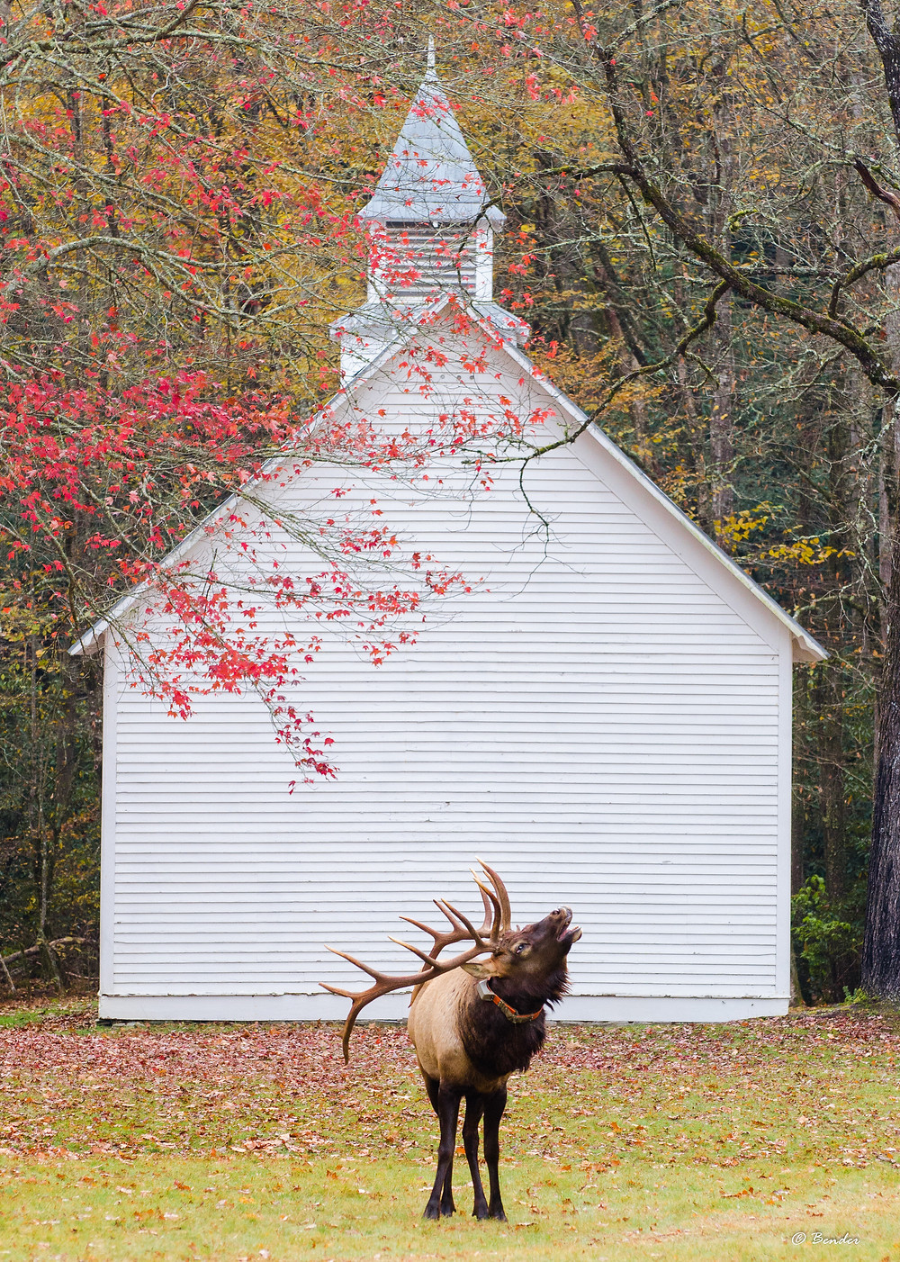 Elk Bugling in front of Palmer Chaple