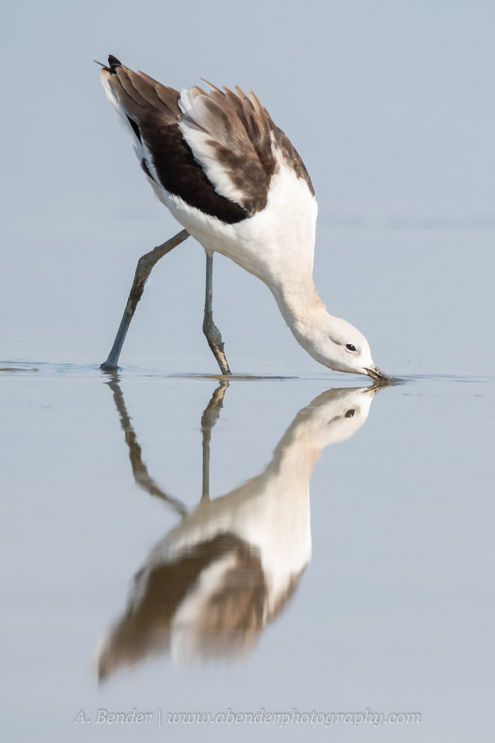 An American avocet is reflected in the shallow waters of the Great Salt Lake Utah while feeding off Antelope Island | A Bender Photography LLC