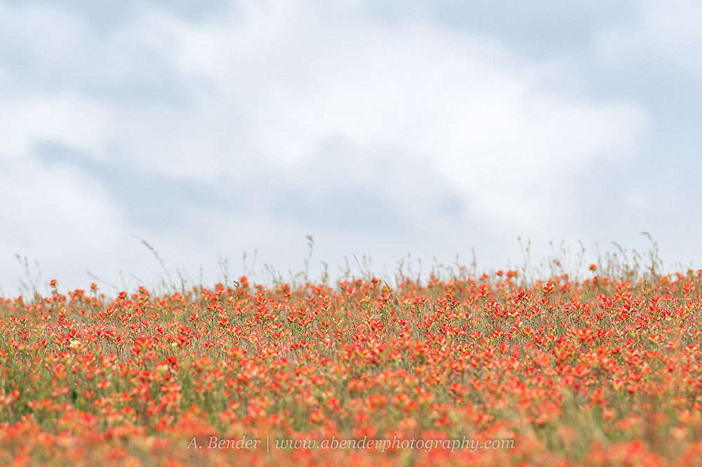 A field of blooming Indian Paintbrush in Central Texas under cloudy skies | A Bender Photography LLC