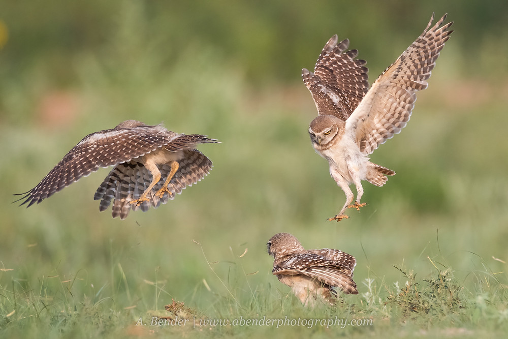 Three burrowing owl fledglings in various states of flight in northern Texas | A Bender Photography LLC