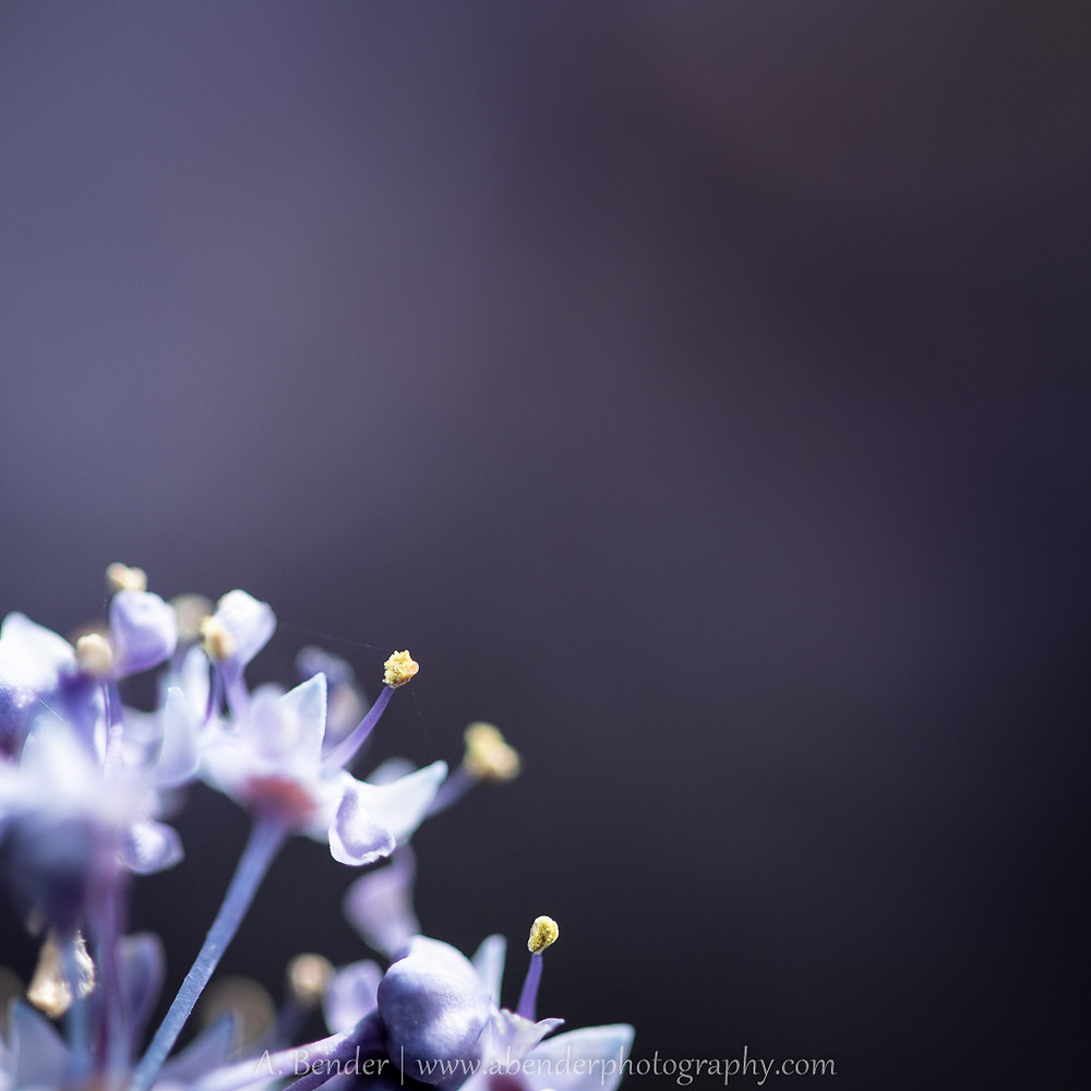 macro image of purple Californian wildflowers, a bender photography