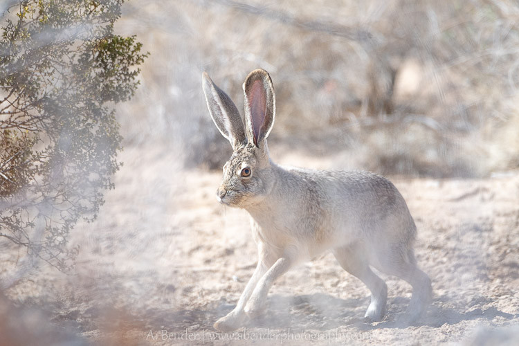 Jack Rabbit in southern Nevada