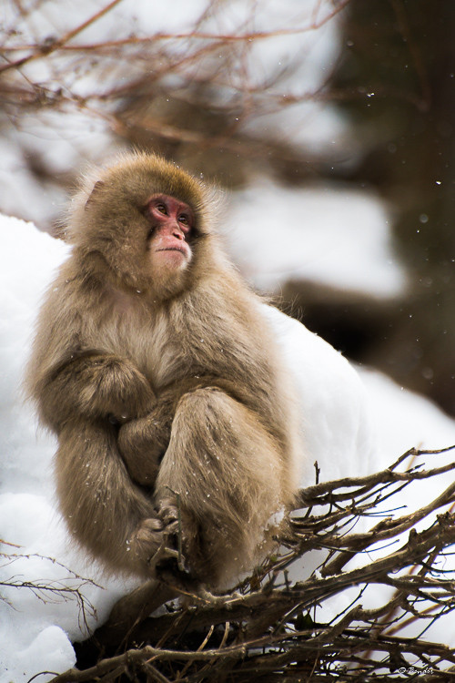 """""""Watching Snow"""" a young monkey sits on barren branches as snow falls"""